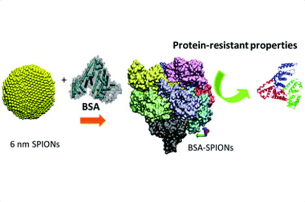 Albumin-coated SPIONs: an experimental and theoretical evaluation of protein conformation, binding affinity and competition with serum proteins